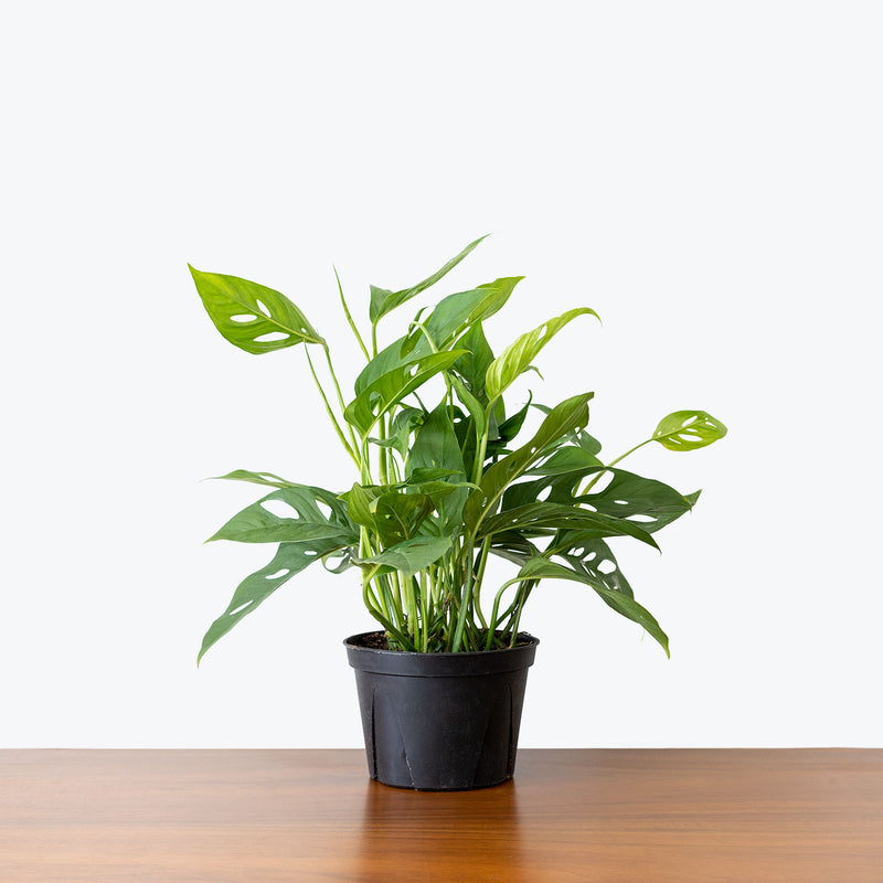 Monstera Adansonii - House Plants Delivery Toronto - JOMO Studio