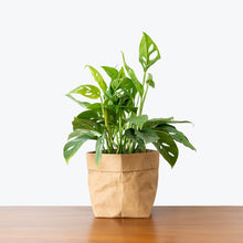 Load image into Gallery viewer, Monstera Adansonii - House Plants Delivery Toronto - JOMO Studio