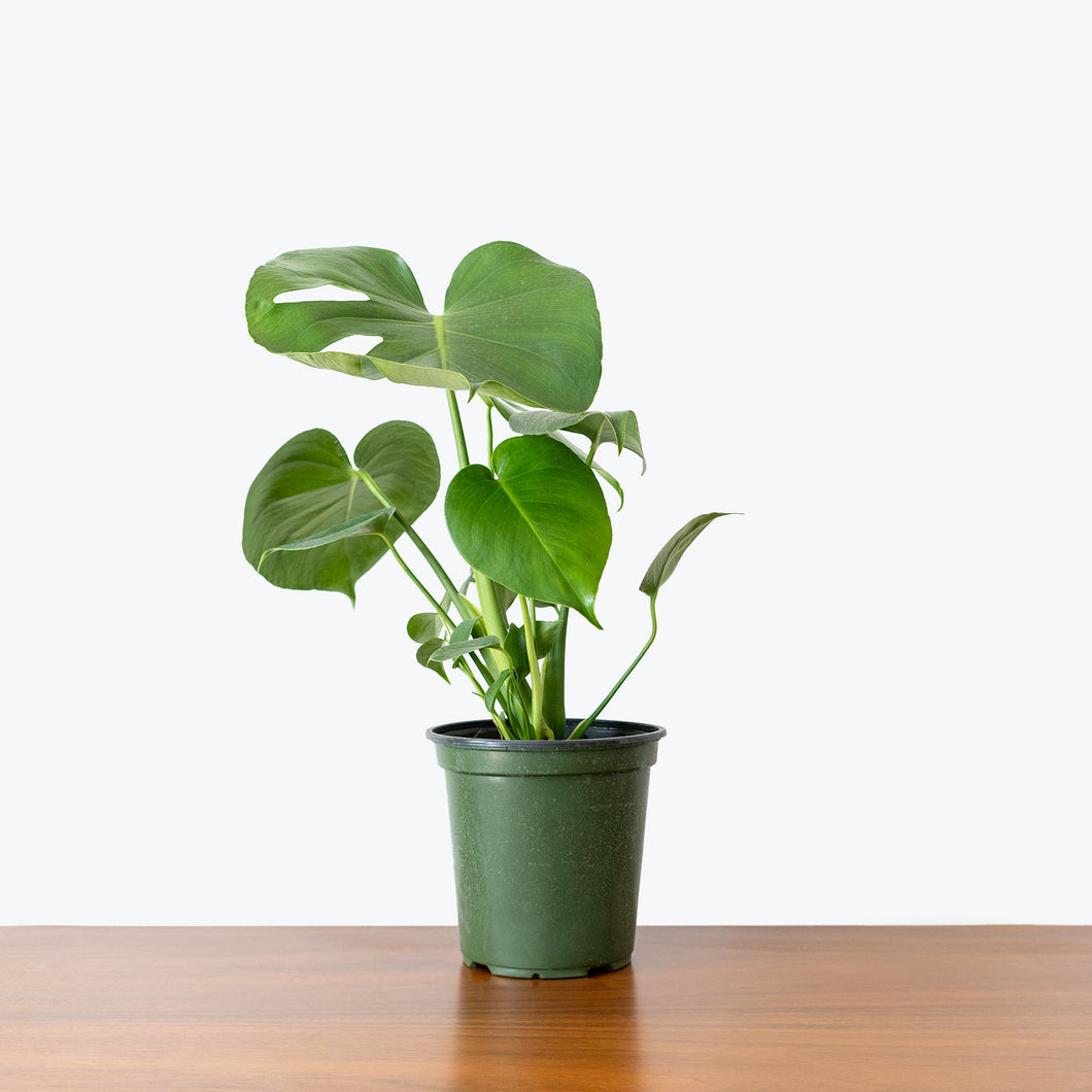 Monstera Deliciosa - House Plants Delivery Toronto - JOMO Studio