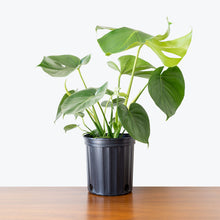 Load image into Gallery viewer, Monstera Deliciosa - House Plants Delivery Toronto - JOMO Studio