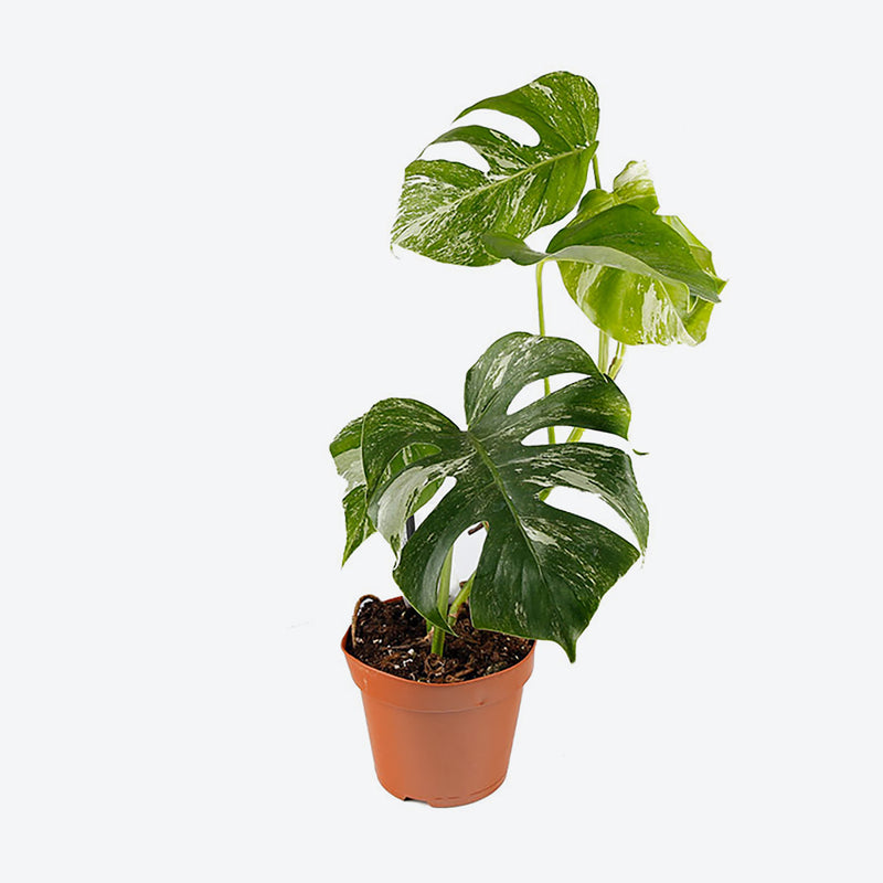 Monstera Thai Constellation - Variegated Monstera - House Plants Delivery Toronto - JOMO Studio