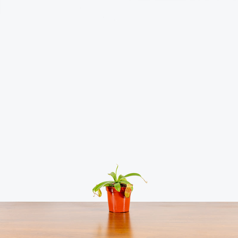 Nepenthes Pitcher Plant - House Plants Delivery Toronto - JOMO Studio