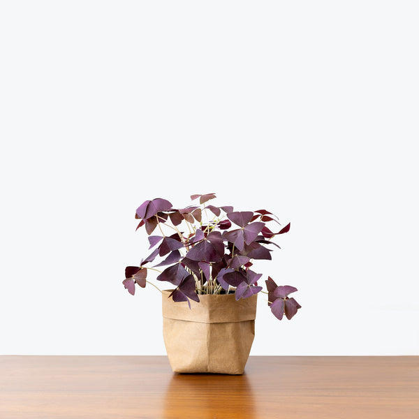 Oxalis Triangularis Purple - House Plants Delivery Toronto - JOMO Studio