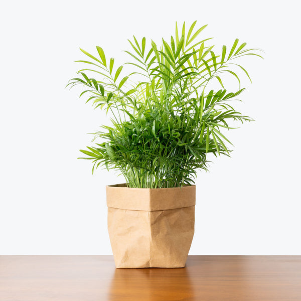Parlor Palm - House Plants Delivery Toronto - JOMO Studio