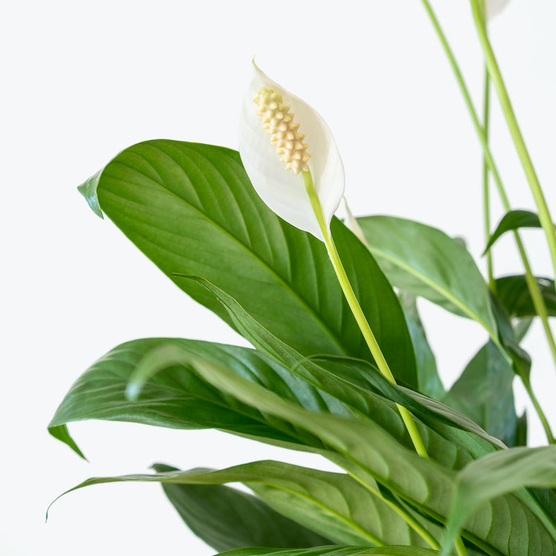 Peace Lily - Spathiphyllum  - House Plants Delivery Toronto - JOMO Studio