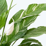 Peace Lily Domino - Spathiphyllum  - House Plants Delivery Toronto - JOMO Studio