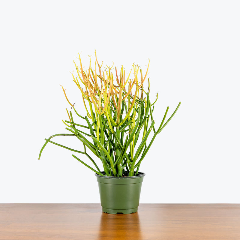Pencil Cactus Firestick - Euphorbia Tirucalli - House Plants Delivery Toronto - JOMO Studio