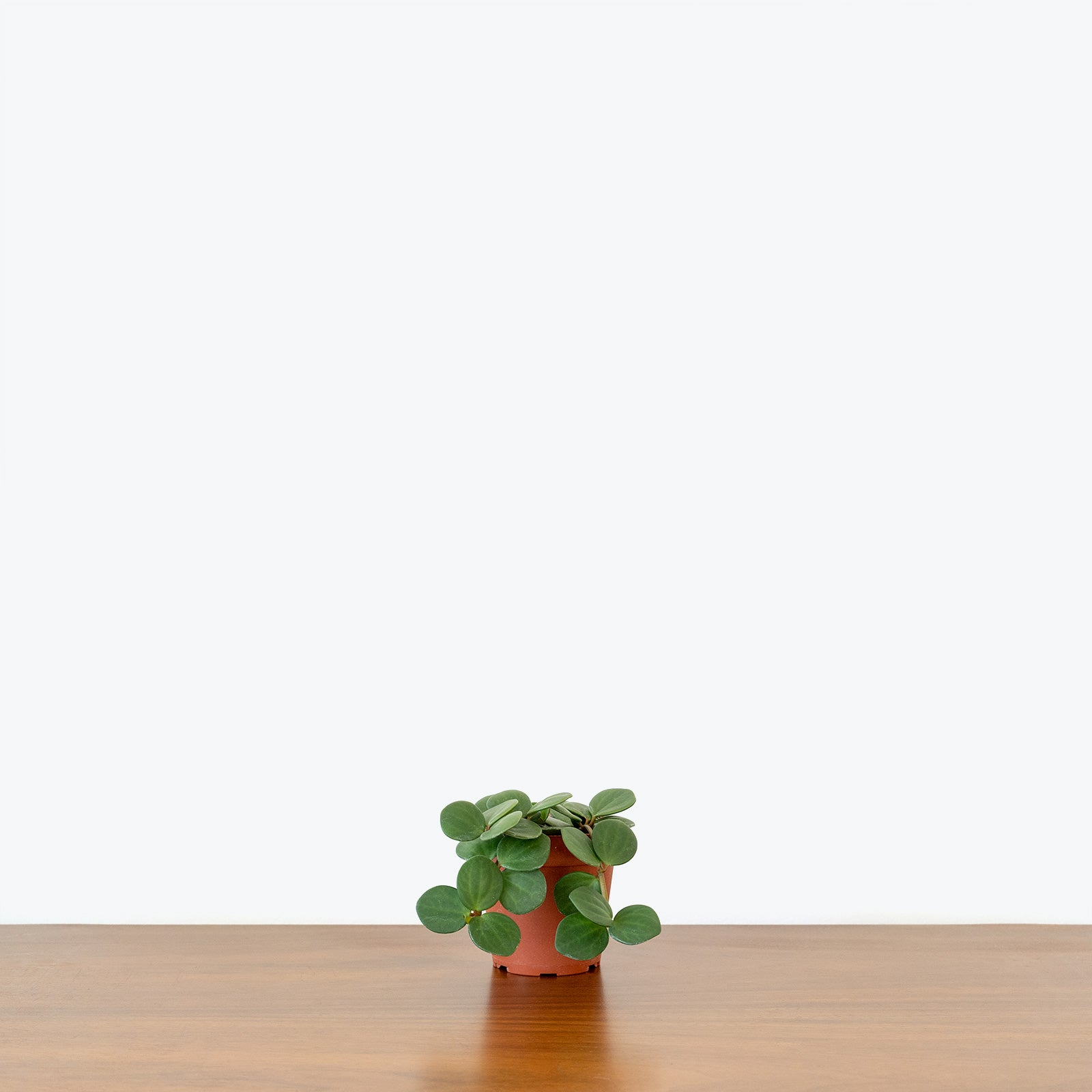 Peperomia Hope - House Plants Delivery Toronto - JOMO Studio