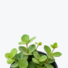 Load image into Gallery viewer, Peperomia Hope - House Plants Delivery Toronto - JOMO Studio