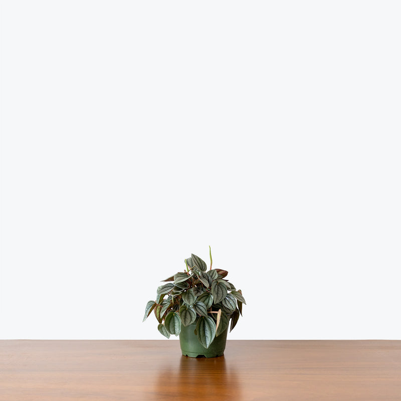 Peperomia Napoli Nights - House Plants Delivery Toronto - JOMO Studio