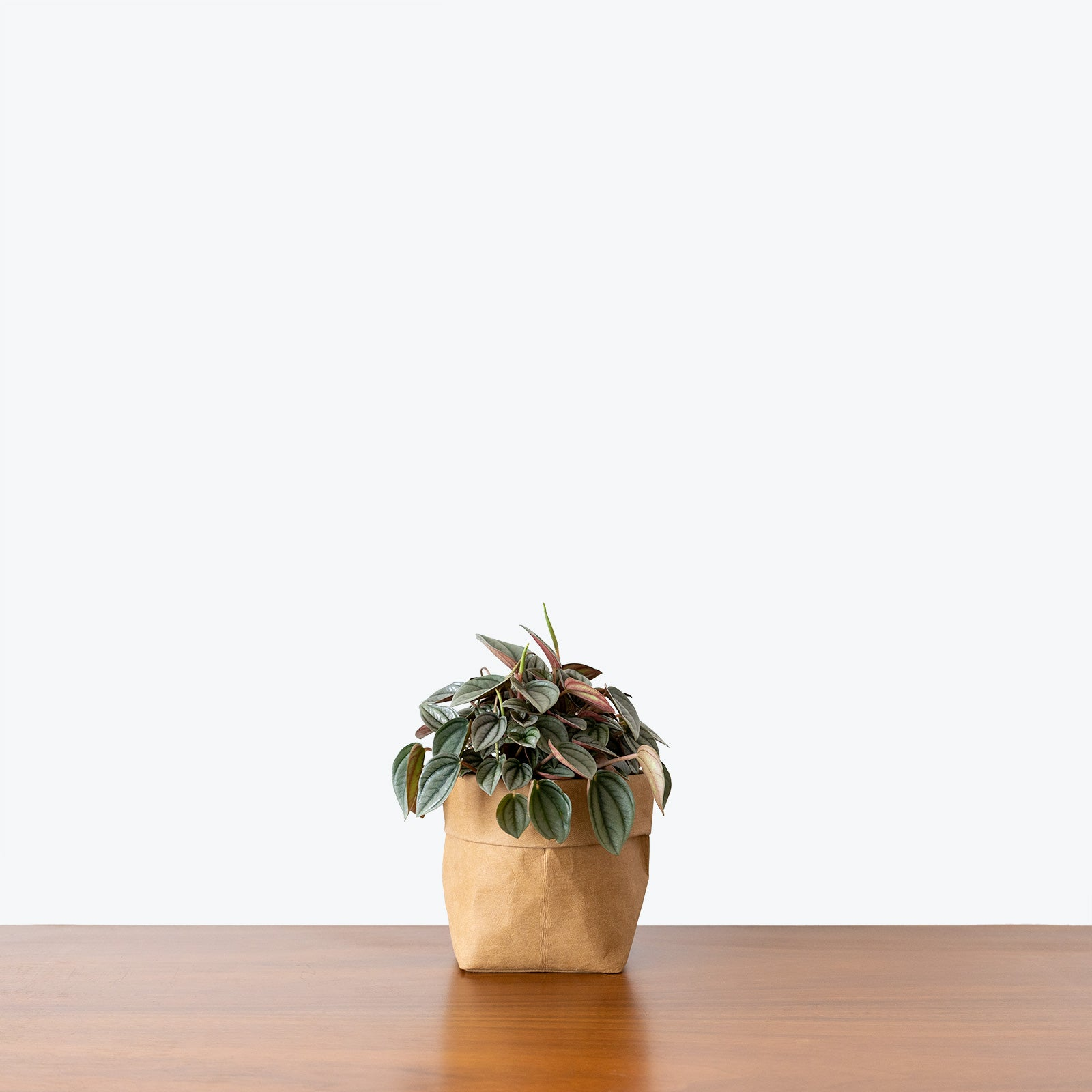 Peperomia Napoli Nights House Plants Delivery Toronto Jomo Studio