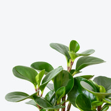Load image into Gallery viewer, Peperomia Obtusifolia - House Plants Delivery Toronto - JOMO Studio