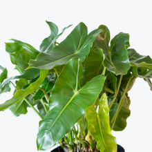Load image into Gallery viewer, Philodendron Burle Marx - House Plants Delivery Toronto - JOMO Studio