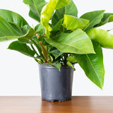 Philodendron Congo Green - House Plants Delivery Toronto - JOMO Studio