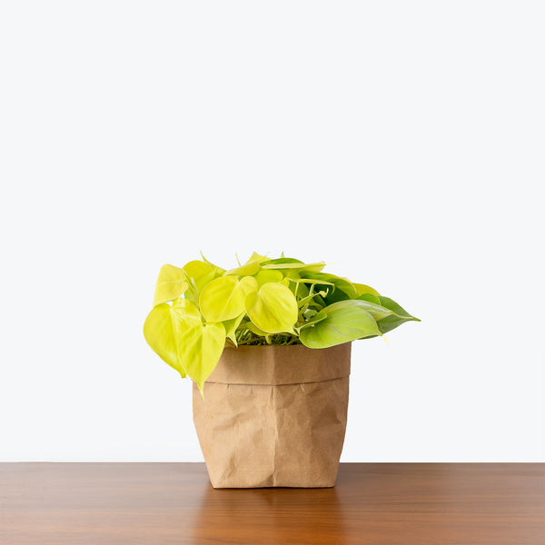 Philodendron Hederaceum Lemon Lime - House Plants Delivery Toronto - JOMO Studio