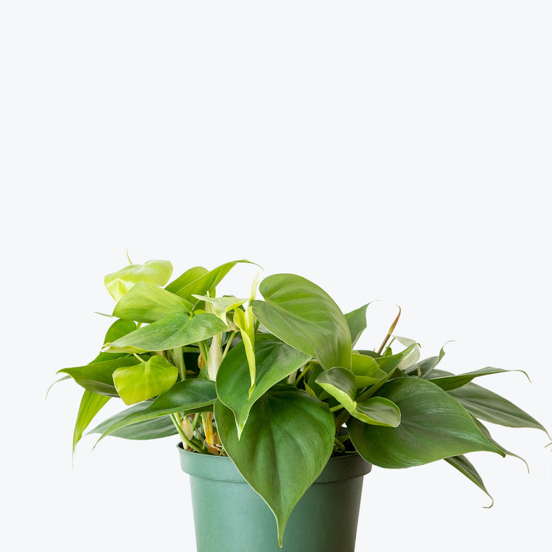 Philodendron Hederaceum Heartleaf - House Plants Delivery Toronto - JOMO Studio