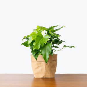Philodendron Little Hope - House Plants Delivery Toronto - JOMO Studio