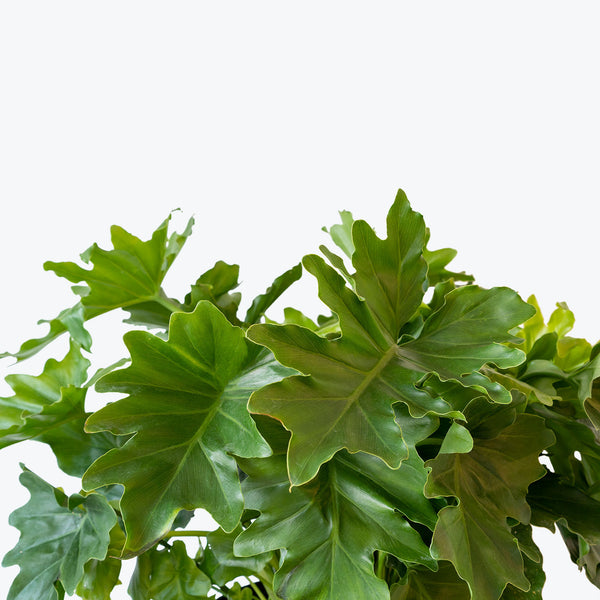 Philodendron Hope Selloum - House Plants Delivery Toronto - JOMO Studio