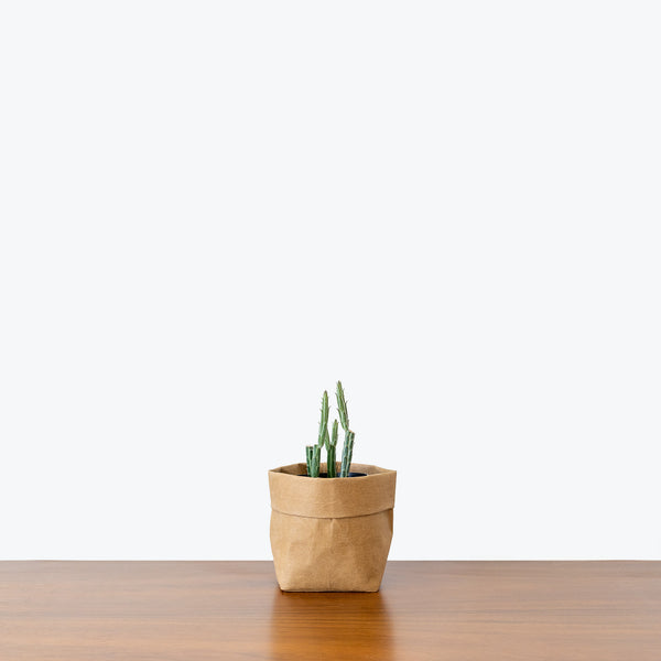 Pickle Cactus - Kleinia Stapeliiformis - House Plants Delivery Toronto - JOMO Studio