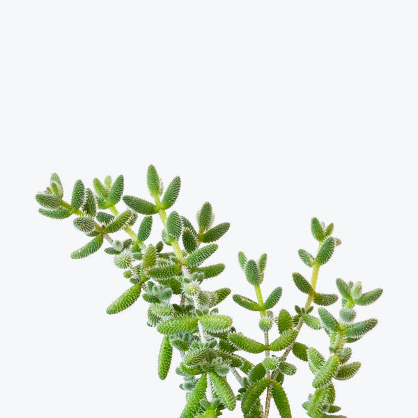 Pickle Plant - Delosperma Echinatum - House Plants Delivery Toronto - JOMO Studio