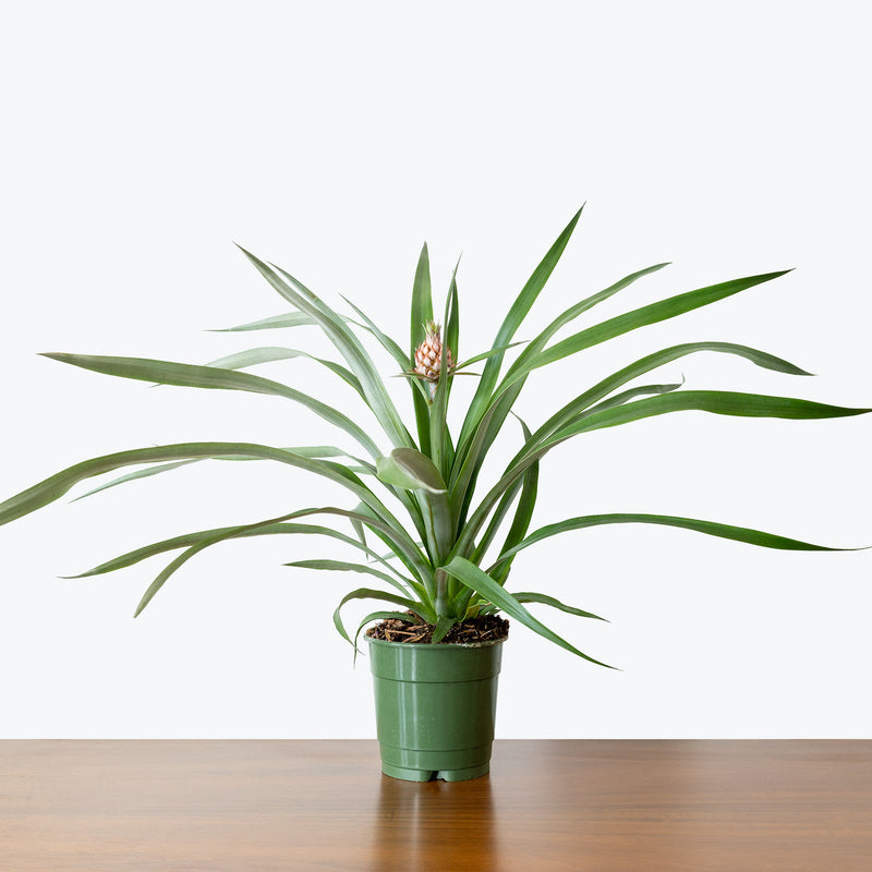 Pineapple - Ananas Comosus - House Plants Delivery Toronto - JOMO Studio