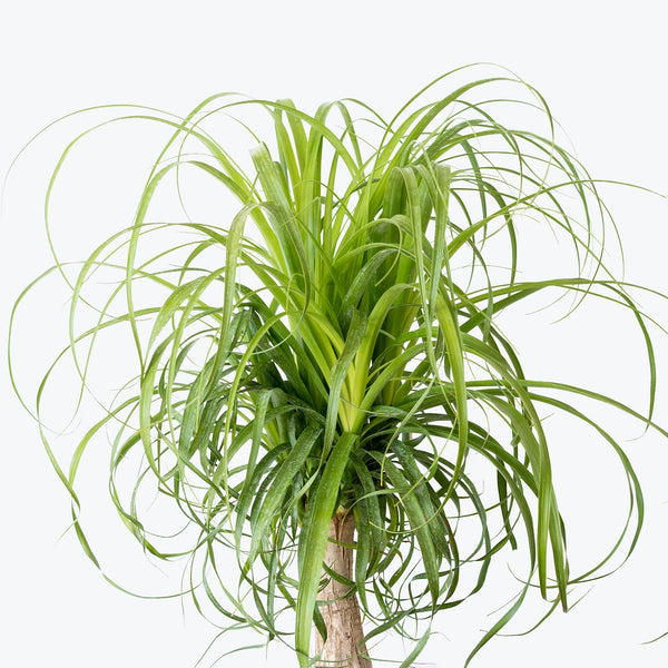 Ponytail Palm - House Plants Delivery Toronto - JOMO Studio