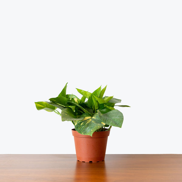Pothos Golden - House Plants Delivery Toronto - JOMO Studio