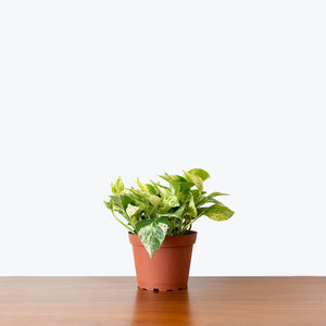 Pothos Marble Queen - House Plants Delivery Toronto - JOMO Studio