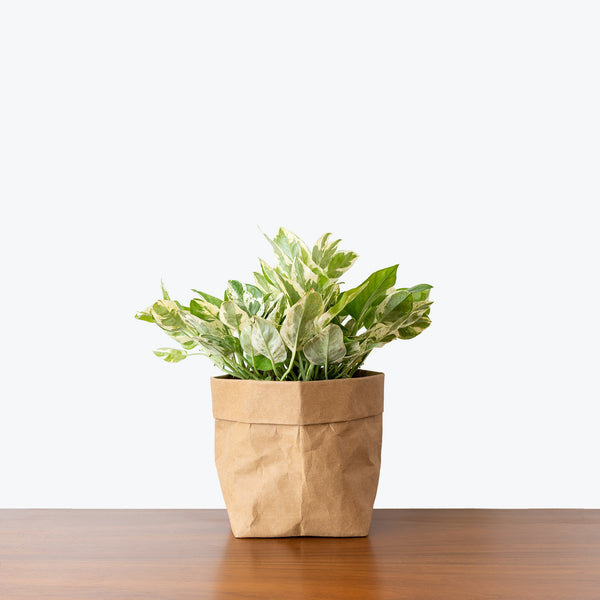 Pothos Pearls and Jade - House Plants Delivery Toronto - JOMO Studio
