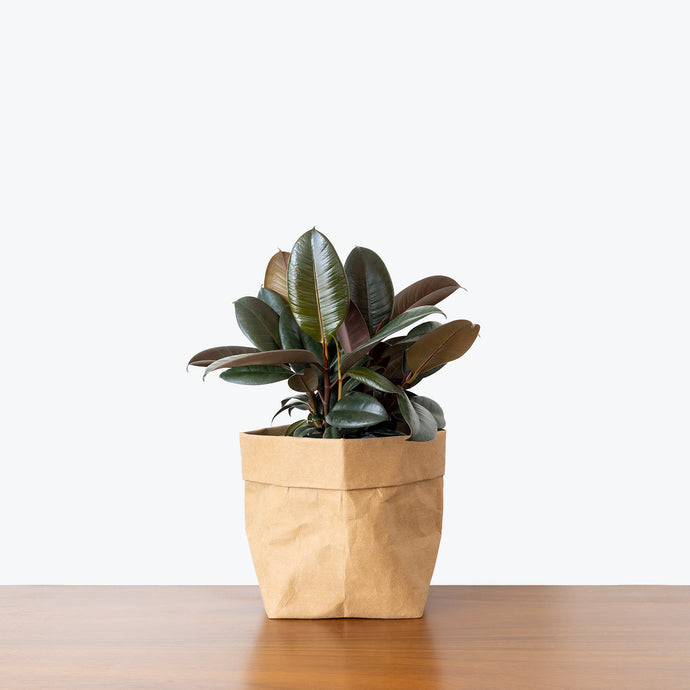 Rubber Plant - House Plants Delivery Toronto - JOMO Studio