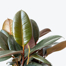 Load image into Gallery viewer, Rubber Plant - House Plants Delivery Toronto - JOMO Studio