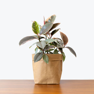 Rubber Ruby Red - House Plants Delivery Toronto - JOMO Studio