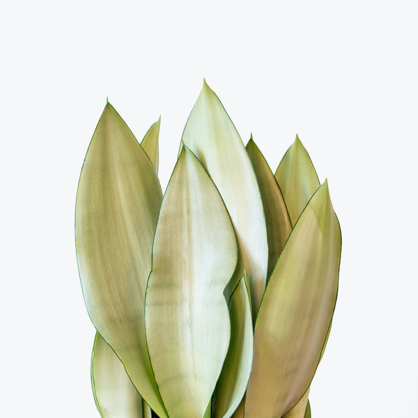 Sansevieria Moonlight - Snake Plant - House Plants Delivery Toronto - JOMO Studio