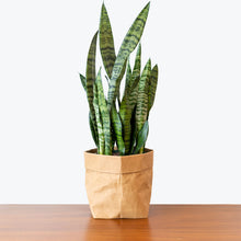 Load image into Gallery viewer, Sansevieria Zeylanica - Snake Plant - House Plants Delivery Toronto - JOMO Studio