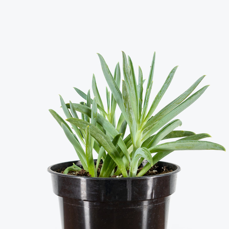 Senecio Serpens Blue Dolphin - House Plants Delivery Toronto - JOMO Studio