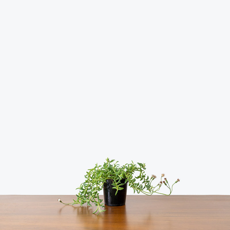 String of Dolphins - House Plants Delivery Toronto - JOMO Studio