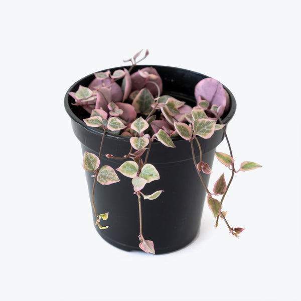 String of Hearts Variegated - House Plants Delivery Toronto - JOMO Studio