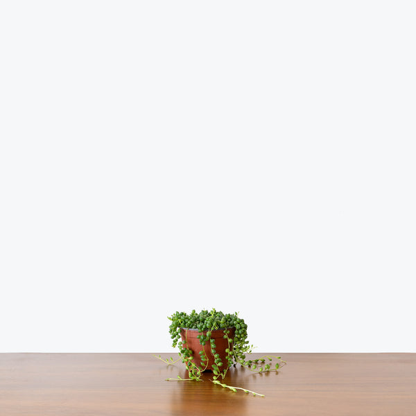 String of Pearls - Senecio Rowleyanus - House Plants Delivery Toronto - JOMO Studio