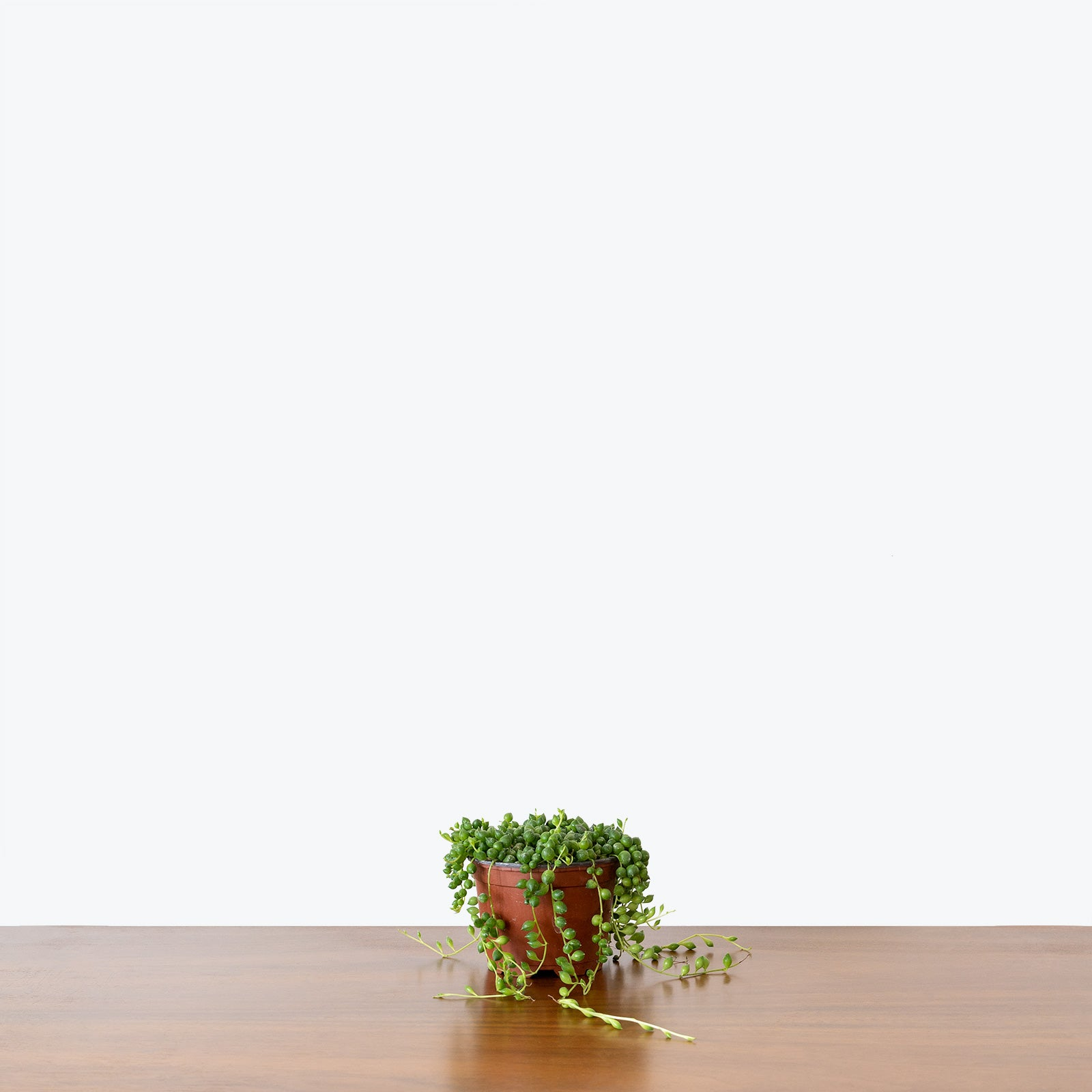 String of Pearls - House Plants Delivery Toronto - JOMO Studio