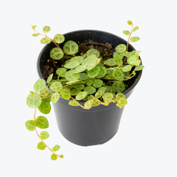 String of Turtles - Peperomia Prostrata - House Plants Delivery Toronto - JOMO Studio