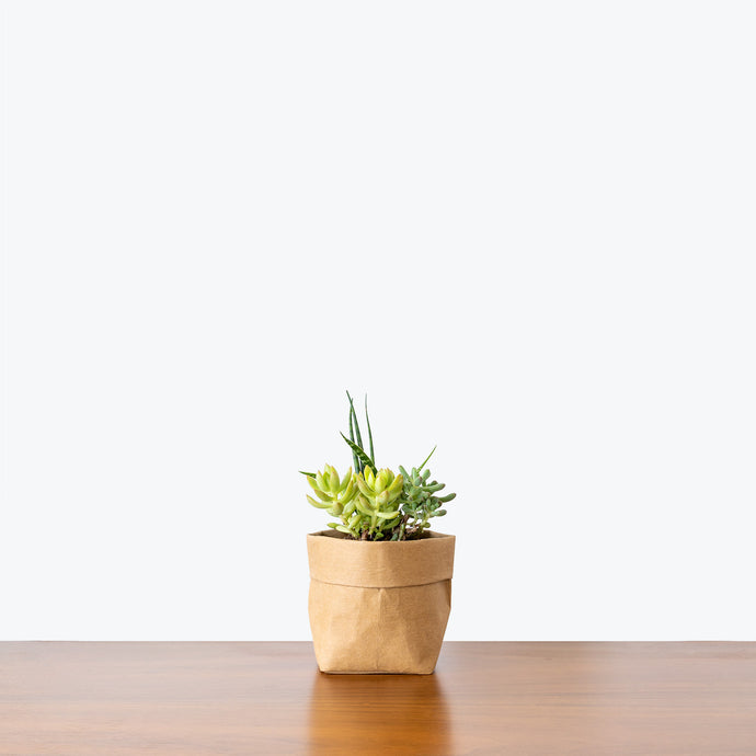 Assorted Succulent - House Plants Delivery Toronto - JOMO Studio