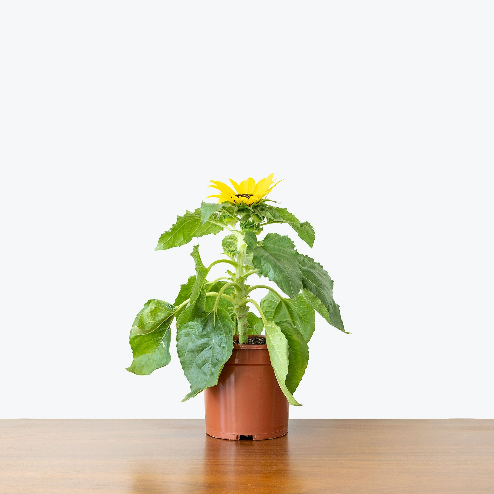 Sunflower - House Plants Delivery Toronto - JOMO Studio