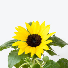 Load image into Gallery viewer, Sunflower - House Plants Delivery Toronto - JOMO Studio