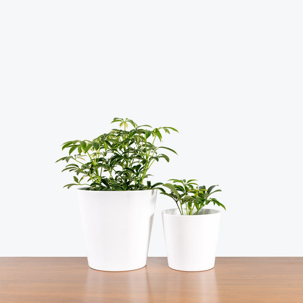 Tapered Ceramic Planter - House Plants Delivery Toronto - JOMO Studio