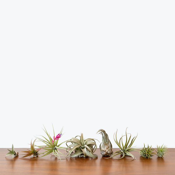 Tillandsia Air Plants - House Plants Delivery Toronto - JOMO Studio