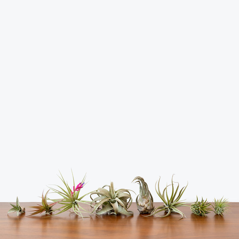 Air Plant Mystery Box - Tillandsia Air Plants - House Plants Delivery Toronto - JOMO Studio