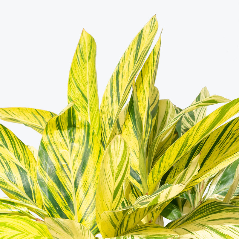 Variegated Shell Ginger - Alpinia zerumbet Variegata - House Plants Delivery Toronto - JOMO Studio