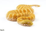 Albino Death adder (Acanthophis praelongus) (Photography) - Fuzzy Fox Reptiles and Rodents