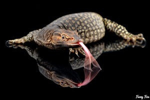 Black Headed Monitor (Varanus tristis trisits) - Fuzzy Fox Reptiles and Rodents