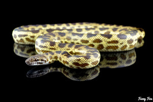 Blond Spotted Python (Antaresia maculosa) - Fuzzy Fox Reptiles and Rodents